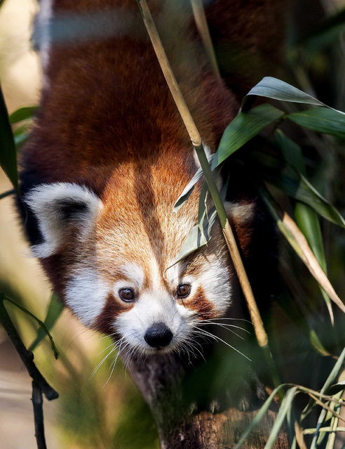 One of the two Red Pandas (Ailurus fulgens) explores his surrounding during the opening of the new panda enclosure at Amersfoort Zoo, to where the two brothers moved in, im Amersfoort, The Netherlands, 01 April 2016. (Photo by Koen van Weel/EPA)