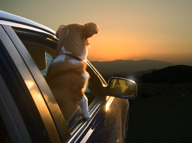 "A view of a corgi peering out of a window in Los Angeles, California. A wacky photographer has come up with an unusual pet project – snapping ecstatic dogs as they hang their heads out of car windows. Lara Jo Regan, 48, embarked on the odd task for her new 2014 calendar ""Dogs In Cars"". The unusual shoot, which took place in Los Angeles, California, aimed to explore the joy experienced by pugs and huskies when a breeze hits their faces. (Photo by Lara Jo Regan/Barcroft Media)"