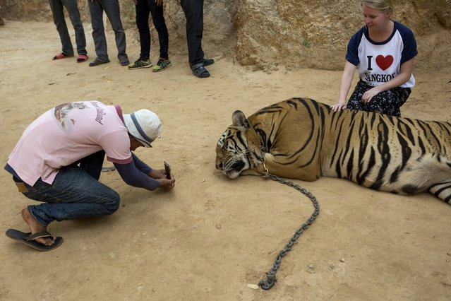 A staff member photographs a visitor with one of the big cats at Tiger Temple, in Kanchanaburi, Thailand, March 16, 2016. (Photo by Amanda Mustard/The New York Times)