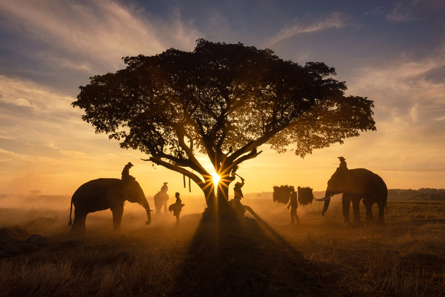 "These eye-catching photographs capture the special relationship between a group of farmers and elephants – with a gorgeous sunset in the background. Vithun Khamsong, a civil engineer, shot the images earlier this year while visiting Surin, Thailand. Khamsong said: ""My favorite is the one where the sunset can be seen behind the man and the elephant. I was impressed and wanted to capture this lifestyle for other people see it"". (Photo by Vithun Khamsong/Caters News Agency)"