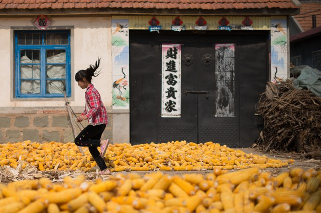 Harvested corn dries on the ground as a girl runs past in a village near Gaomi, in eastern China's Shandong province on October 13, 2012. China is the world's second-biggest corn producer, with output set to increase 3.7 percent this year from 2011, according to the US Department of Agriculture (USDA). (Photo by Ed Jones/AFP Photo)