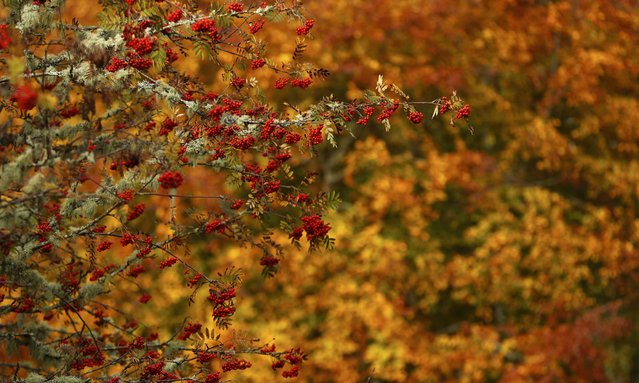 Rowan berries are seen in front of autumnal foliage in Perthshire, Scotland, Britain October 24, 2016. (Photo by Russell Cheyne/Reuters)