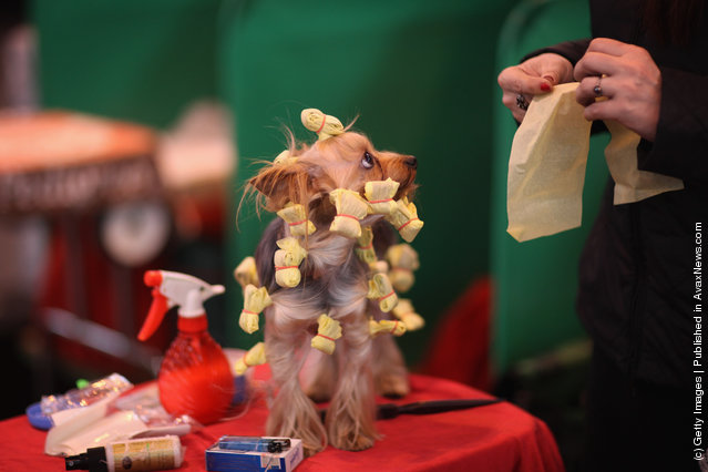 A Yorkshire Terrier has it's hair done on a grooming table on Day one of Crufts at the Birmingham NEC Arena