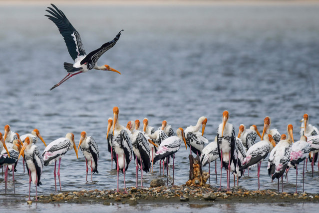 A painted stork flies past as others scout for fish at Pulicat Lake in Sriharikota in southeastern state of Andhra Pradesh on November 27, 2019. (Photo by Arun Sankar/AFP Photo)