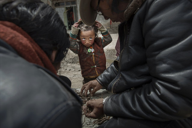 A Tibetan nomad boy watches as vendors buy and sell cordycep fungus on May 20, 2016 at a market in Sershul on the Tibetan Plateau in the Garze Tibetan Autonomous Prefecture of Sichuan province. (Photo by Kevin Frayer/Getty Images)