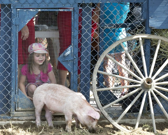 Three year old Elisa Lavigne watches a grazing pig at the Festival du Cochon (Pig Festival) in Sainte-Perpetue, Quebec August 8, 2015. (Photo by Christinne Muschi/Reuters)