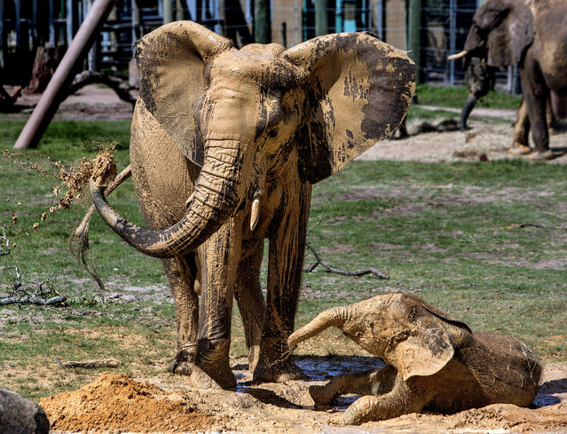 "Lowry Park Zoo elephants Matjeka, 23, and her 1-year-old daughter, Mavi, apply a liberal coating of ""sunscreen""  to themselves in a clay mud wallow at the park Tuesday, August 12, 2014, in Tampa, Fla., on the park's first observation of World Elephant Day to raise awareness of the wild African elephant crisis. (Photo by Cherie Diez/AP Photo/The Tampa Bay Times)"