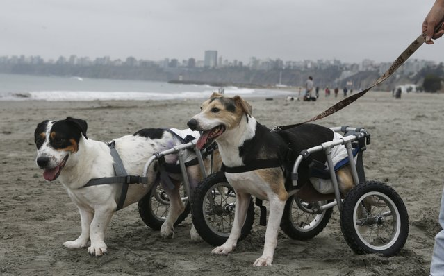 Cabezon and Pecas, paraplegic dogs in wheelchairs, walk at Pescadores beach in Chorrillos, Lima, September 7, 2015. (Photo by Mariana Bazo/Reuters)