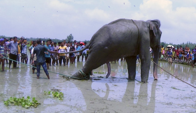 Bangladeshi villagers gather as wildlife experts attend to a fully grown Indian elephant that washed up in a swamp after being caught up in raging floodwaters in Jamalpur district, some 150 kilometers (94 miles) north of Dhaka, Bangladesh, Sunday, August 14, 2016. Floodwaters carried the male elephant thousands of kilometers (miles) from upstream India before he became trapped in the swamp some three weeks ago. Wildlife officials are trying to move the elephant to a safari park outside Bangladesh's capital. (Photo by AP Photo/Stringer)