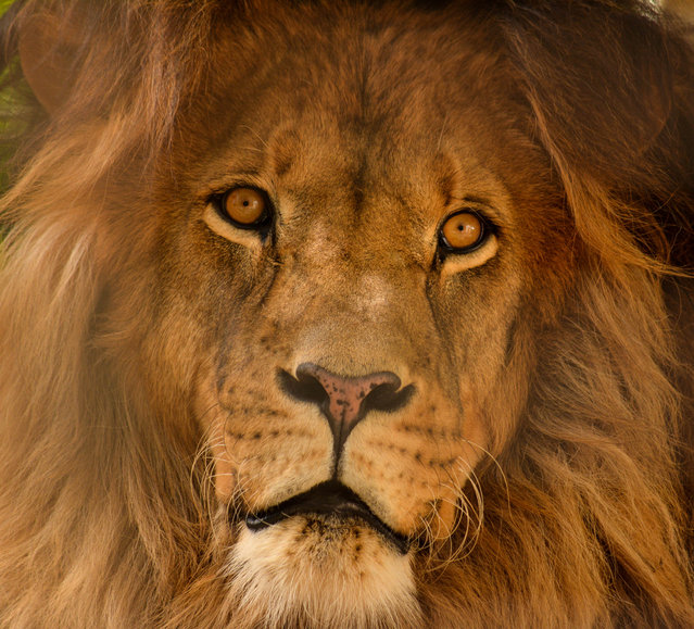 """King of the Zoo"". This photo of this giant majestic king of the beasts was captured at my local zoo summer of 2013. He was always so regal looking. This portrait of him captures his beautiful eyes and stunning mane. Photo location: Elmvale Zoo, Elmvale, Ontario, Canada. (Photo and caption by Cindy Rossit/National Geographic Photo Contest)"