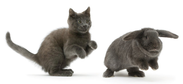Russian Blue kitten chasing blue Lop rabbit. (Photo by Mark Taylor/Warren Photographic/Caters News Agency)
