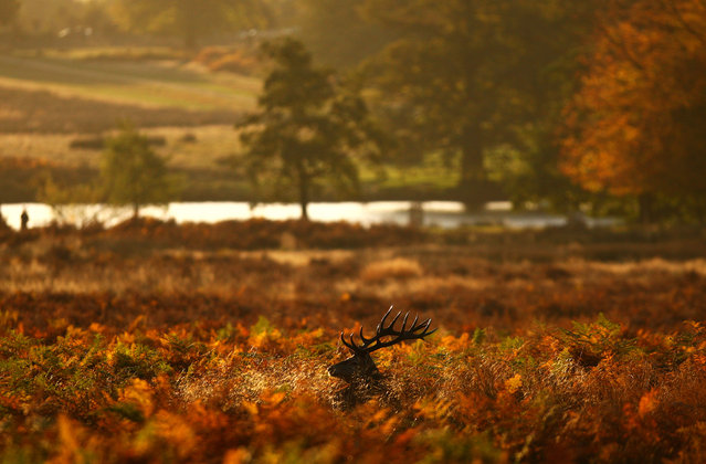 A red deer stag looks for food in a bracken thicket after sunrise in Richmond Park on October 27, 2012 in London, England. Richmond Park is the largest of the capital's Royal Parks and home to 630 red and fallow deer. (Photo by Dan Istitene)
