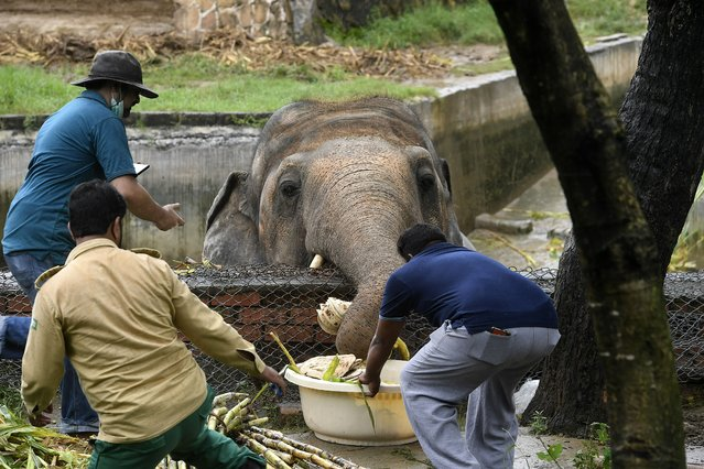 Local wildlife officials and veterinarians of Four Paws International feed Kaavan, the elephant slated to be moved to a sanctuary in Cambodia after it became the subject of a high-profile rights campaign backed by music star Cher, before a medical examination of relocation at the Marghazar Zoo Islamabad on September 4, 2020. A team of international vets using tranquiliser darts, flatbreads and the soothing lyrics of Frank Sinatra conducted a medical examination on September 4 on Pakistan's only Asian elephant, ahead of his planned move to Cambodia. (Photo by Aamir Qureshi/AFP Photo)