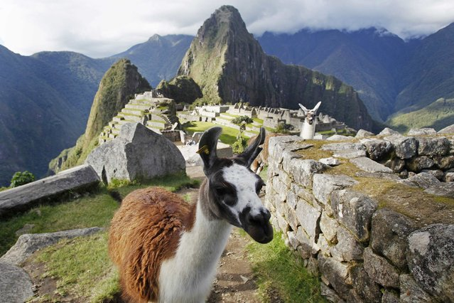 Llamas are seen in front of the Inca citadel of Machu Picchu in Cusco December 2, 2014. (Photo by Enrique Castro-Mendivil/Reuters)