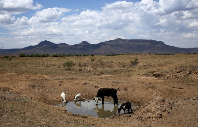 Livestock drink from a drying river outside Utrecht, a small town in the northwest of KwaZulu-Natal, November 8, 2015. Cattle are the traditional asset by which Nampie Motloung, a subsistence black South African farmer, has long measured his wealth. But a blistering drought has made them a liability. (Photo by Siphiwe Sibeko/Reuters)