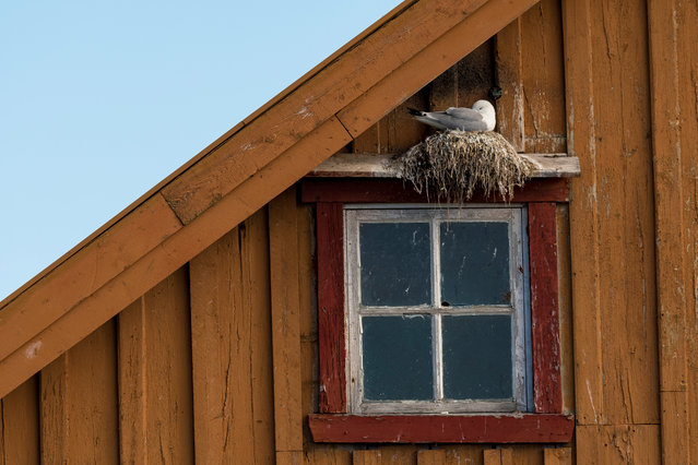 People and nature category winner: Housing for the Threatened by Alwin Hardenbol (University of Eastern Finland). In Varanger, Norway, black-legged kittiwakes often like to nest on decrepit buildings. (Photo by Alwin Hardenbol/2020 British Ecological Society Photography Competition)