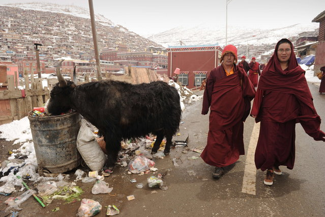 This photo taken on April 5, 2013 shows Buddhist monks passing a yak in Seda Monastery, the largest Tibetan Buddhist school in the world, with up to 40,000 monks and nuns in residence for some parts of the year. Seda, known to Tibetans as Serthar is located in Ganzi prefecture in the west of China's Sichuan province and has become a hotbed of protests and violence since the Tibetan uprisings of March 2008. (Photo by Peter Parks/AFP Photo)