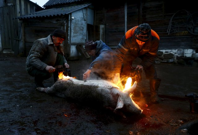 Belarussian men prepare to cook a pig using an open fire after slaughtering it in the village of Azerany, Belarus, December 12, 2015. (Photo by Vasily Fedosenko/Reuters)