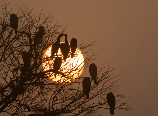 Great cormorant birds perch on tree branches as the sun rises during a misty morning at Taudaha Lake, on the outskirts of the Kathmandu valley, Nepal, 20 January 2021. Nepal, due to its favorable breeding environment, is a destination for migratory birds coming from South East Asia as well as from Africa and Australia. (Photo by Narendra Shrestha/EPA/EFE)