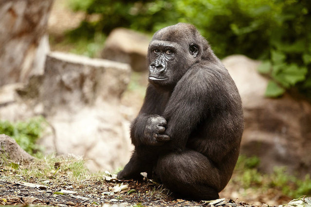 A picture made available on 23 January 2014 shows seven-years old male gorilla Ubongo resting in his facilities at Loro Parque Zoo in Puerto de la Cruz city, Tenerife Island, Canary Islands, southwestern Spain, 22 January 2015. Ubongo and Kiburi, a ten years old male gorilla, came from Hannover Adventure Zoo to join the five-gorilla population of the Canary zoo. (Photo by Ramon De La Rocha/EPA)