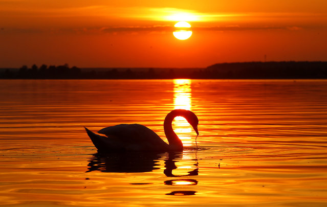 A mute swan swims in a lake during sunset near the village Sosenka, Belarus on July 26, 2018. )Photo by Vasily Fedosenko/Reuters)