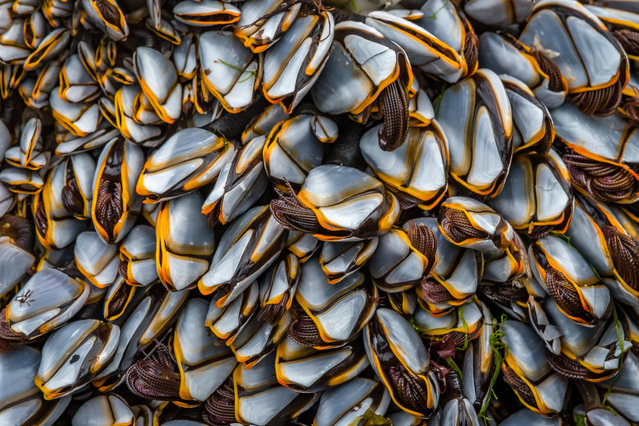 Close to nature winner: Goose Barnacles, Sanna Bay, Highland. (Photo by David Bennett/British Wildlife Photography Awards)
