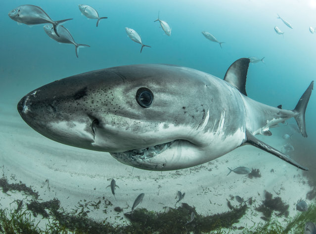 Great white sharks live mostly in tropical and temperate waters, such as the Mediterranean Sea, and are most abundant around large colonies of seals, sea lions and cetaceans. (Photo by Philip Hamilton/The Guardian)