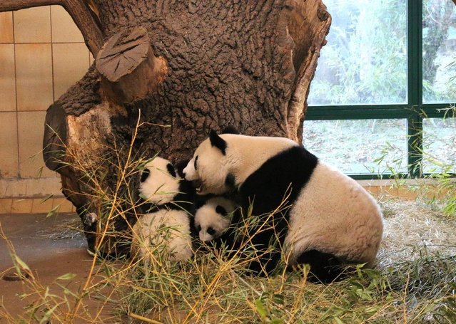 Giant panda Yang Yang and her twin cubs, Fu Feng and Fu Ban, which were born on August 7, are seen in their enclosure at Schoenbrunn Zoo in Vienna, Austria, in this handout photo released December 30, 2016. (Photo by Daniel Zupanc/Reuters/Schoenbrunn Zoo)
