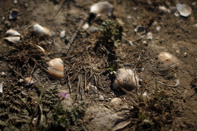 Shells are seen on a former lake bed from where the water receded at Lake Cachuma in Santa Barbara, March 27, 2015. (Photo by Lucy Nicholson/Reuters)