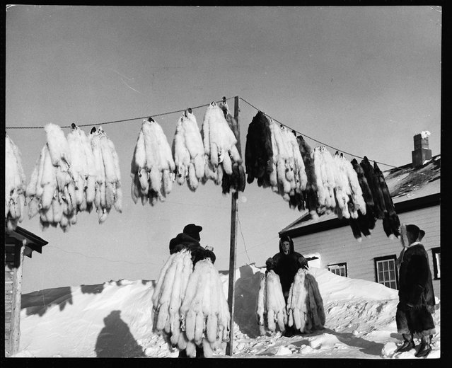 Hudson Bay fur traders hang fox pelts out to air on a clothesline, at Eskimo Point. (Photo by Hulton-Deutsch Collection/Corbis via Getty Images)