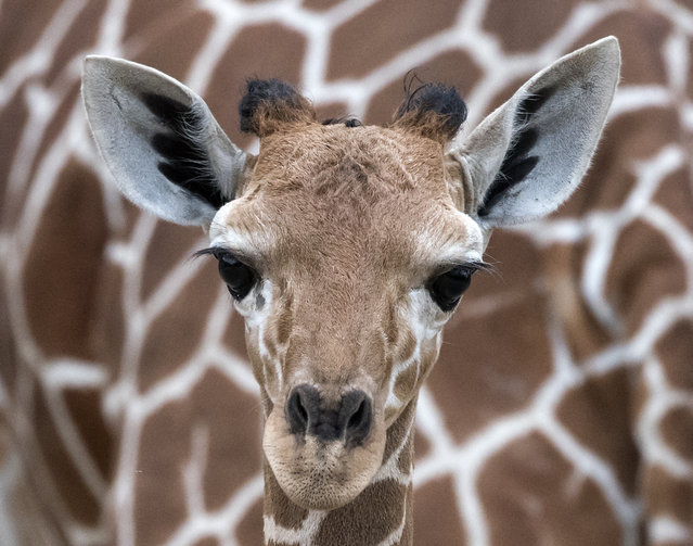 """The giraffe baby stands in front of her mother """"Dhakija"""" at the zoo in Erfurt, Germany,  Monday, April 27, 2015. The baby was born on March 25, 2015. (Photo by Jens Meyer/AP Photo)"""