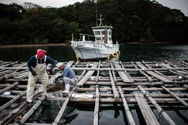 Farmers of the Sakaguchi Akoya pearl farm harvest oysters in Shima on October 12, 2018. In Japan's picturesque Ago Bay, a couple sits in a little hut picking out oysters from a net, cleaning them carefully one-by-one before replacing them gently back in the water. Their hope: in several months, these oysters will produce a glistening white pearl from a cultured farming technique invented in Japan but in decline as experts die out in the ageing country. (Photo by Martin Bureau/AFP Photo)