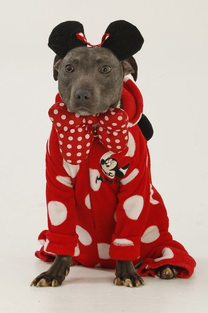 Bailey the Staffordshire bull terrier dressed as Minnie Mouse. (Photo by Helen Yates/Barcroft Media)