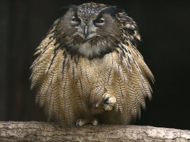 An eagle owl fluffs out its feathers as it sits on one foot on a branch in its enclosure at the Grugapark in Essen, Germany, on March 25, 2014. (Photo by Ina Fassbender/Reuters)