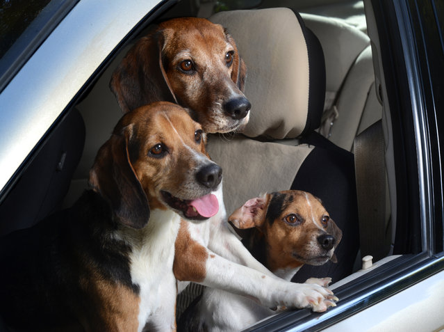 "Three pocket beagles lean out of a window in Los Angeles, California. A wacky photographer has come up with an unusual pet project – snapping ecstatic dogs as they hang their heads out of car windows. Lara Jo Regan, 48, embarked on the odd task for her new 2014 calendar ""Dogs In Cars"". The unusual shoot, which took place in Los Angeles, California, aimed to explore the joy experienced by pugs and huskies when a breeze hits their faces. (Photo by Lara Jo Regan/Barcroft Media)"