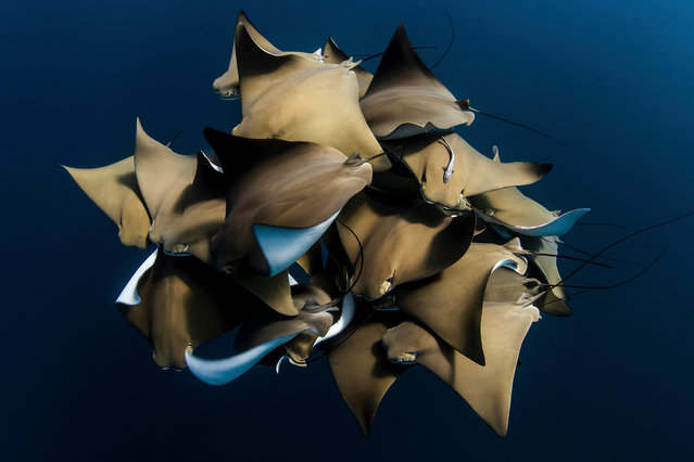 A Rare Encounter with Cownose Rays by Alex Kydd, Australia: a large grouping of Cownose Rays (Rhinoptera bonasus) taken on Ningaloo Reef, Western Australia. Third place – water. (Photo by Alex Kydd/The Nature Conservancy Global Photo Contest 2019)