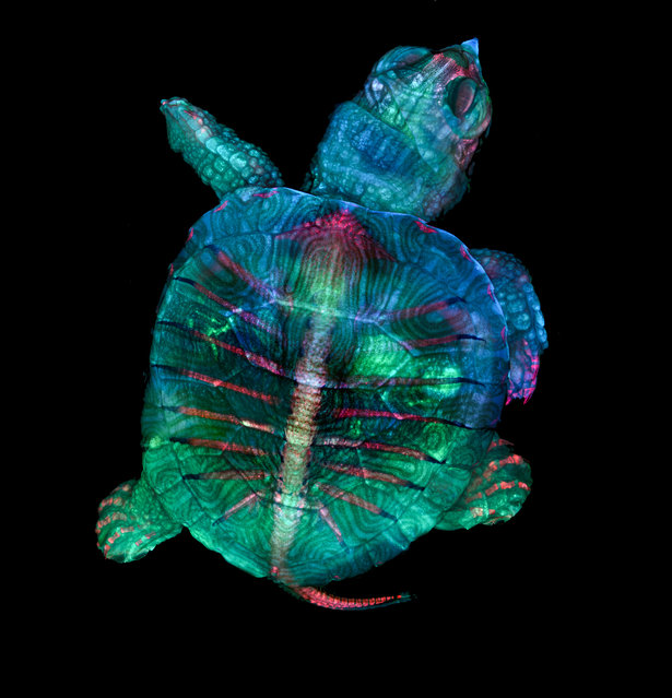 1st Place: Teresa Zgoda & Teresa Kugler, Campbell Hall, New York, USA. Fluorescent turtle embryo. Stereomicroscopy, Fluorescence, 5x (Objective Lens Magnification). (Photo by Teresa Zgoda/Nikon's Small World 2019)