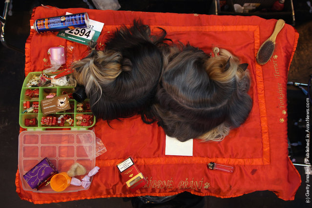 Two Yorkshire Terriers sleep on a grooming table on Day one of Crufts at the Birmingham NEC Arena