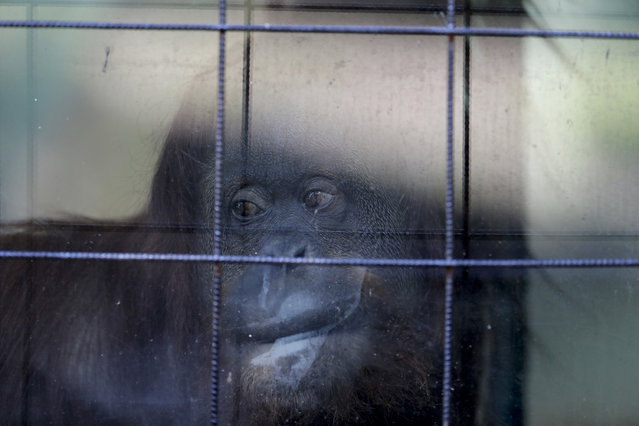 In this May 16, 2017 photo, Sandra, the orangutan, looks out from her enclosure at the former city zoo now known as Eco Parque in Buenos Aires, Argentina. Lions, giraffes and hundreds of other animals remain behind bars and in limbo a year after the former Buenos Aires zoo turned into an ecological park as part of a project to relocate most of its animals to sanctuaries in Argentina and abroad. (Photo by Natacha Pisarenko/AP Photo)