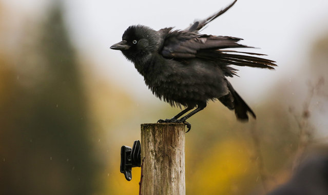 A young jackdaw rests on a fence post in Altheim, western Germany on November 3, 2019. (Photo by Thomas Warnack/dpa/AFP Photo)