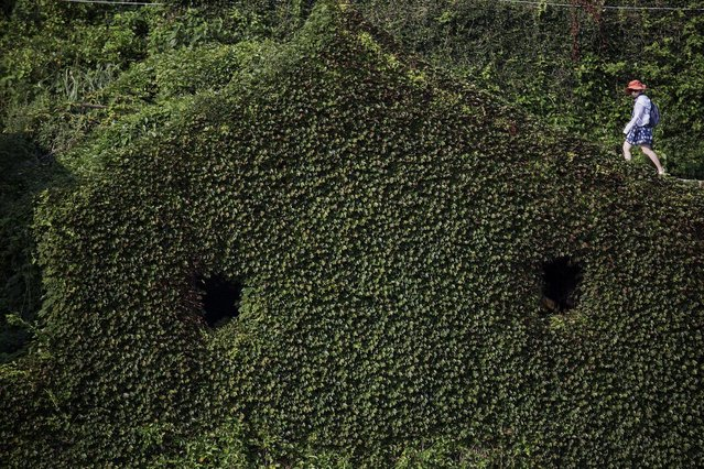 A tourist walks between building completely covered with plants in the abandoned fishing village of Houtouwan on the island of Shengshan July 26, 2015. (Photo by Damir Sagolj/Reuters)