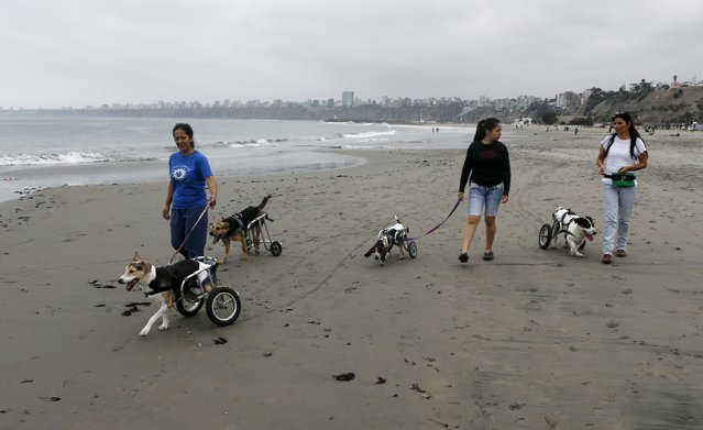 Sara Moran (R) and dog shelter volunteers walk paraplegic dogs in wheelchairs at Pescadores beach in Chorrillos, Lima, September 7, 2015. (Photo by Mariana Bazo/Reuters)
