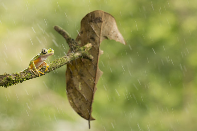"""""""Rain is a gift"""". Alone in the rain this strange to see Agalychnis Lemur pose for me and my camera... Click! Photo location: La fortuna, Costa Rica. (Photo and caption by Nicolas Reusens/National Geographic Photo Contest)"""