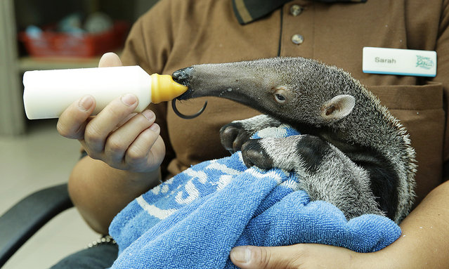 Giant anteater baby, from River Safari, being fed milk by its keeper. (Photo by Wildlife Reserves Singapore)