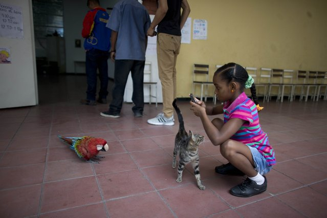 A girl takes pictures of a macaw that flew inside a polling station during mayoral elections in Caracas, Venezuela, Sunday, December 10, 2017. Venezuelans will choose hundreds of mayors on Sunday in elections pitting candidates backed by President Nicolas Maduro against a fractured opposition still bruised by a poor showing in recent gubernatorial voting. (Photo by Ariana Cubillos/AP Photo)