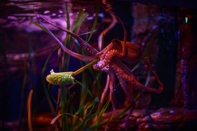 An octopus holds a cleaning brush during a publicity stunt at Berlin's Sealife aquarium on June 4, 2020, as the centre prepares to re-open to the public on June 6, 2020, amid a new coronavirus Covid-19 pandemic. (Photo by John MacDougall/AFP Photo)