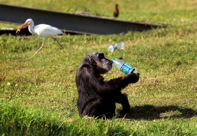 A chimp sips a bottled beverage during Lion Country Safari's  annual Christmas with the Chimps on Thursday, December 20, 2012. For over 20 years, Santa Claus has visited man's closest relative at Lion Country Safari's Chimp Islands, bearing wrapped gifts for the chimps. (Bruce R. Bennett/The Palm Beach Post)