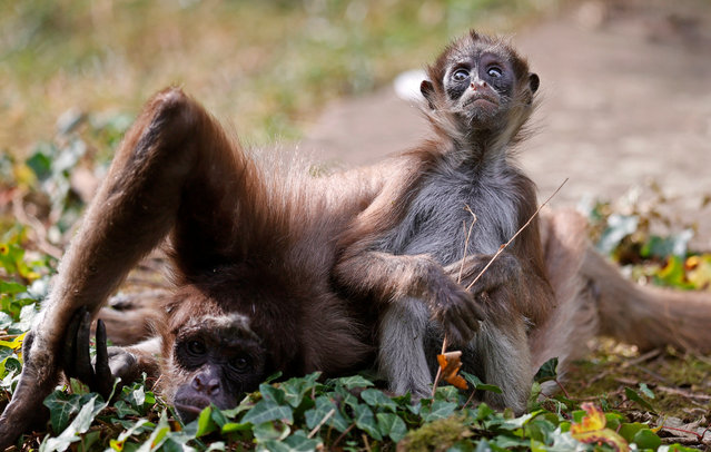 An adult and a young long-haired spider monkey (Ateles belzebuth) sit in their enclosure at zoo in Frankfurt am Main, Germany, 16 Septembe​r 2020. (Photo by Ronald Wittek/EPA/EFE)