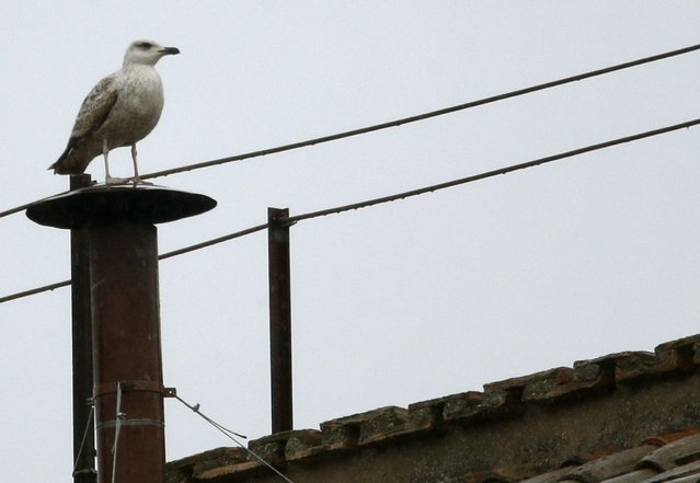 A seagull rests on the chimney of the Sistine Chapel in Saint Peter's Square at the Vatican March 13, 2013. After a first inconclusive vote, Cardinals began the process of choosing a new pope in earnest on Wednesday, praying for inspiration at the start of the first full day in a conclave to choose a leader for the Catholic Church. (Photo by Max Rossi/Reuters)