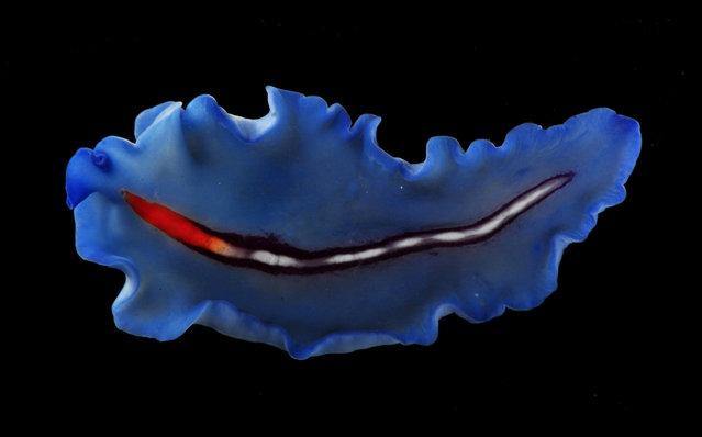 A rather unusual blue flatworm (Pseudoceros bifurcus); Straits of Johore, October 2012. (Arthur Anker)